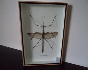 Family Phasmatidae Huge Male Stick Insect Boxed Taxidermy Display Entomology Zooology