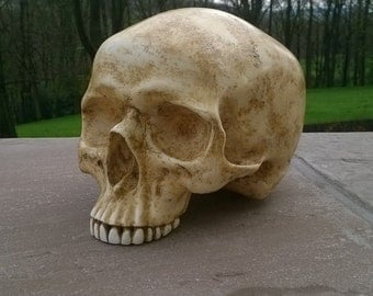 Slightly aged skull with no jaw