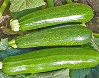 Organic Zucchini Seeds *Dark Green*~Mycorrhizae Fortified/Bulk Available~