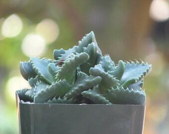 Faucaria Tigrina Succulent Plant