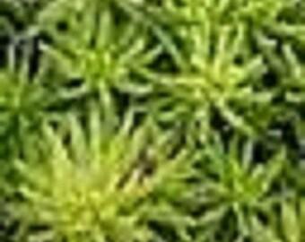 Green and Gold Angelina Sedum Plant