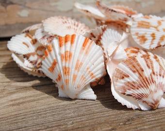 "25pc Scallop Pectin Tranquebar Seashells 1-2"" - Bulk Shells - Wholesale Shells - Craft Shells"
