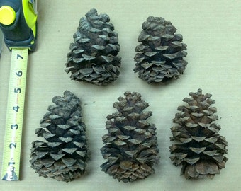 5 Large Pondersosa Pine Cones For Art, Crafts, and Home Decor
