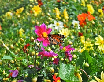 Butterfly Flower photograph vibrant color nectar