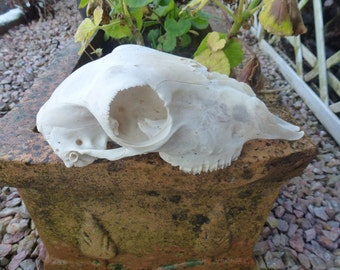 A blackface sheep skull.