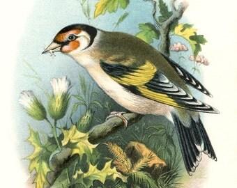 Antique European GOLDFINCH BIRD Postcard - Digital INSTANT Download - nature avian songbird ephemera print collage supply