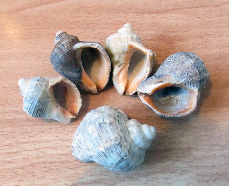 5 sea shells sea snail shells seashells craft supply for Large seashells for crafts