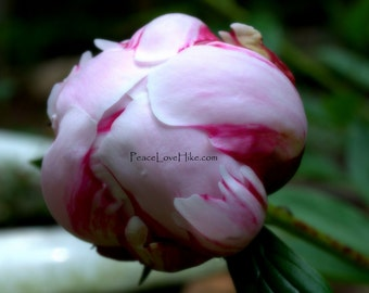 Pink Peony Flower Print #0360 Full Color, Fine Art