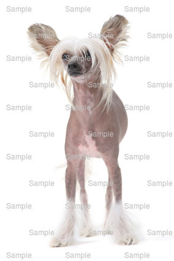 Chinese Crested Dog Birthday - Edible Cake and Cupcake Topper For Birthday's and Parties! - D6624