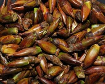 Wildcrafted Balm of Gilead Fresh Frozen Buds (Poplar)