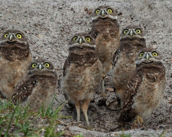 Owls Photography, Watching Hawk  Burrowing Owls, Brown wall decor