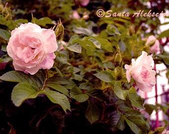 Secret Garden - Fine Art Photography, Digital photography download, instant download, rose photography, pink rose photo,  flower photography