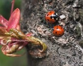 Photo of Two ladybugs on a blooming tree in Spring