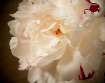 White peony, close-up flower, macro shot, dreamy, fine art photograph, floral