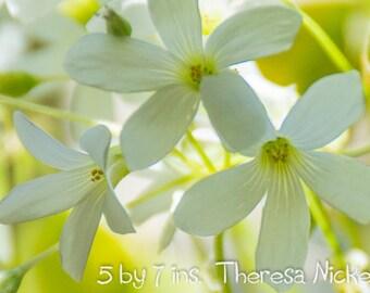 Three White Oxalis (Shamrock Plant)  Blossoms - Fine Art Photography, Home Decor, Art Card
