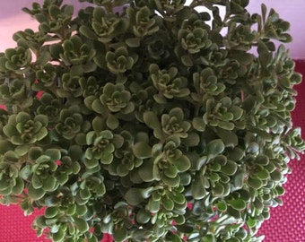 Mature Succulent Plant Irish Bouquet  Tiny Green Rosettes in a beautiful bouquet Perfect for drought tolerant landscape