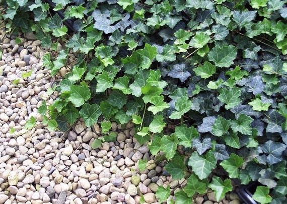 Thorndale 48 plantes couvre sol robuste 2 1 4 pot de for Plante couvre sol