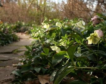 Lenten Roses {Athens, GA}