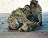 Monkeys of Gibraltar, Fine Photography