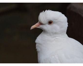 Pretty Dove Print