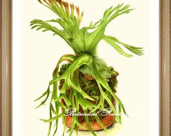 """Fern Print No.23 Staghorn Fern. Antique Fern Print. Fern Art. Ferns Wall Decor 8x10"""""""