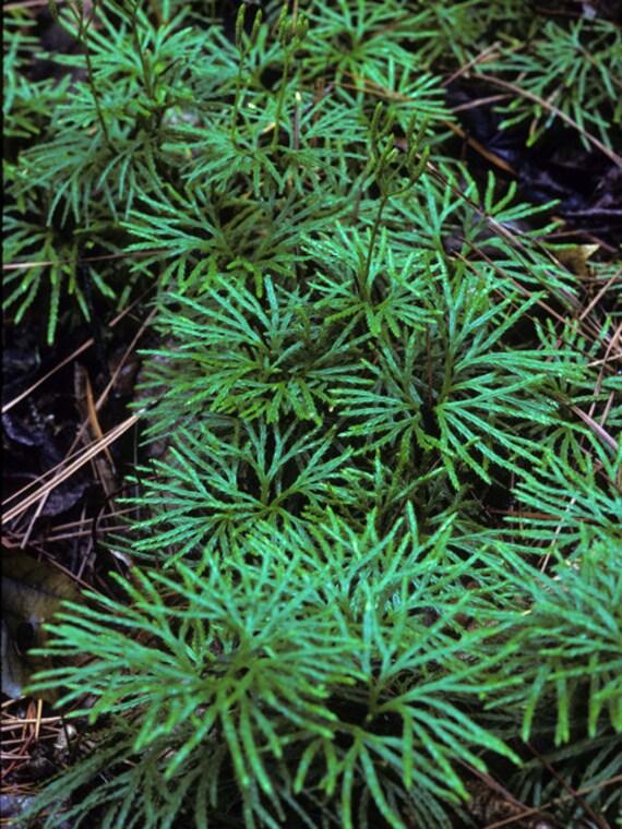 200 Spores Lycopodium .. Ground Cedar ..
