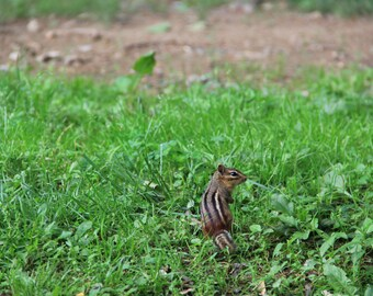Pennsylvania Chipmunk