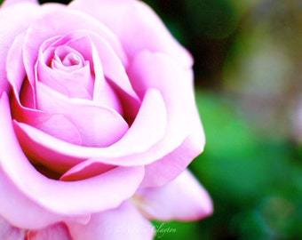 Pale Pink Rose In Soft Focus