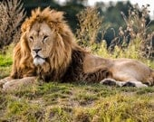 Lion photograph, fine art print, lion wall art, nature wall decor, lion fine art.