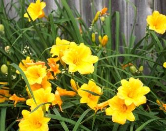 Little Yellow Daffodils