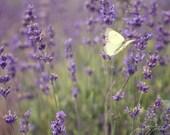 Fine Art Photograph, Lavender Fields, Yellow Butterfly, Purple, Flutter, Wings, Lavender Photo, Maryland Landscape, Home Decor, 8x12 Print