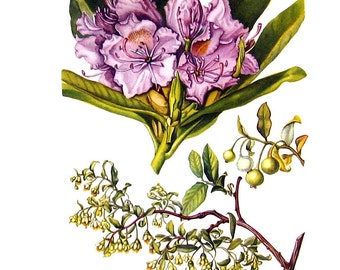 Mountain Rose Bay, Deerberry Flowers - Botanical Print - 1954 Vintage Book Page - 11 x 8