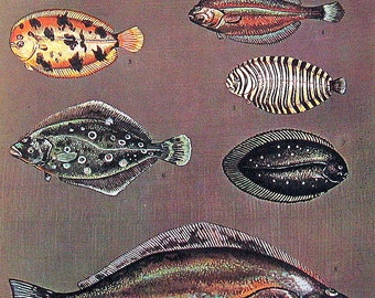 Fish Print - Flounders, Sole - 1973 Vintage Fish Print -  Book Page from Encyclopedia
