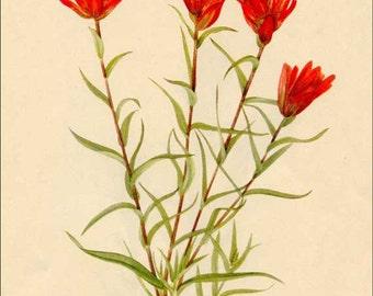 Vintage 1953 Lance-leaf Paintbrush Botanical, Floral Print for Framing, American Wildflower