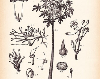 1892 Botany Print - Carica Papayu - Vintage Home Kitchen Food Decor Plant Art Illustration Great for Framing 100 Years Old
