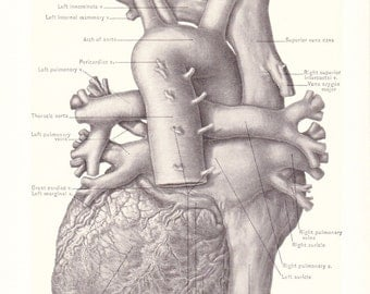 1899 Human Anatomy Print - Posterior View of Heart - Vintage Antique Medical Anatomy Art Illustration for Doctor Hospital Office