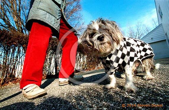 Shih Tzu Dog in Sweater Red Pants Photo Art