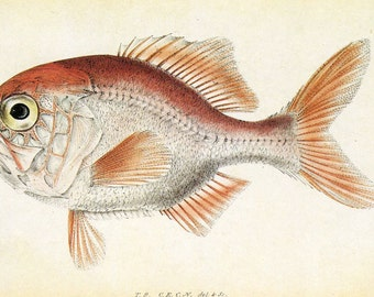Vintage Fish Print (two on page) CLEARANCE