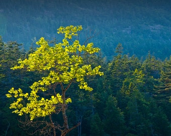 Tree with Yellow Leaves in Pine Forest on Mount Desert Island in Maine's Acadia National Park No.187 Fine Art Landscape Photography