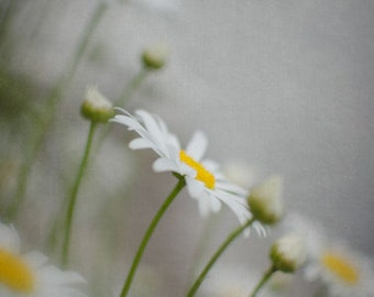 Daisy Wall Art, Vertical Photograph, White, Gray and Yellow Decor, Flower Picture, Dreamy Nature Photography