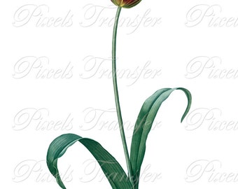 TULIP Instant Download Digital Image Transfer, wedding flowers red yellow clipart Redoute 312