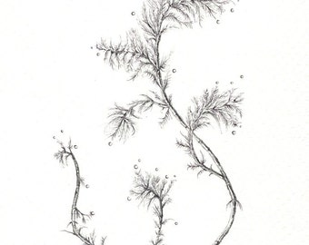 "Delicate Branch art print of an original drawing available 5x7"" or 8x10"""