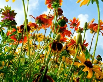 Flower Photography, Nature Photography, Nebraska, Wildflowers, Flower, Bright, Colorful, Blue Sky, fPOE, To The Sky