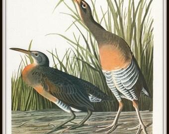 Audubon Art Print, Clapper Rail, 19th Century Audubon Bird Art, Nature Illustration, 1970s Vintage Lithograph, Wall Art, Home Decor