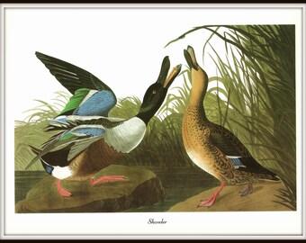 Audubon Bird Art Print, Shoveler, 19th Century Audubon Bird Art, 1970s Vintage Illustration, Nature Art, Wall Art, Home Decor