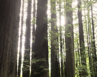 Tree Photo, Redwoods Photo Art, Green Forest Photo, California Woodland Photo, California Redwood,Woods and Sunlight, Northern Pacific Coast