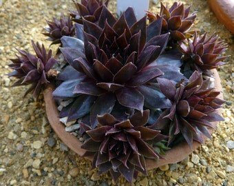 "Purple Beauty Hens & Chicks - Semperviven - Very Hardy - 3"" Pot"