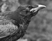 Black and White, Nature Photography, Black Raven Portrait, Gothic Wall Decor, Bird Photography,  Dark Fine Art Print, Crow Print