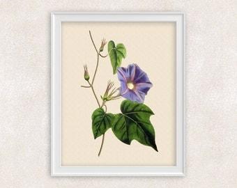 Morning Glory Flower Art - Blue Flower - Victorian Art Prints - 8x10 PRINT- Item #131