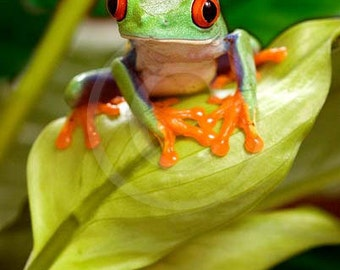 Tree Frog Art, Red Eyed Tree Frog on Leaf, Frog Art